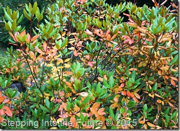 seasonal changes rhododendron