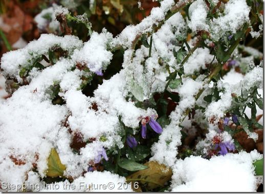 snow on asters