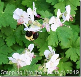 Biokovo with bumblebee detail